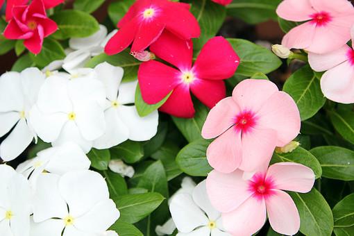 花 ニチニチソウ 日々草 植物 フラワー 種子植物 花弁 花びら 生花 葉 葉っぱ 緑 草 若い友情 生涯の友情 楽しい追憶 優しい 7月 8月 9月 夏 赤い花 白い花 ピンクの花 桃色の花