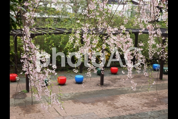 公園の桜1の写真