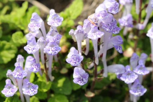 植物 花 雑草 紫 マクロ 接写 横位置 余白 陽だまり 春 初夏 シソ科 立浪草 常緑宿根草 唇