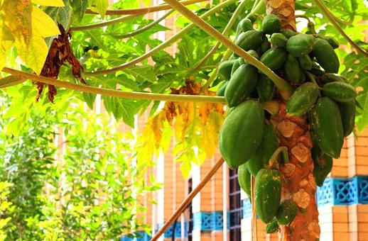 食べ物 カカオ 実 カカオの実 木の実 チョコレート ココア 原料 南国 植物 自然 樹 木 樹木 果樹 緑の実 緑色の実 葉 葉っぱ 枝 屋外 外 野外 庭 材料