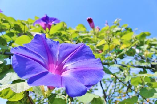 アサガオ 朝顔 花 植物 鮮やか 艶やか collar カラー 自然 風景 景色 景観 壁紙 背景 テクスチャ 素材 明るい 朗らか カワイイ 可愛い かわいい 綺麗 キレイ きれい 素敵 ステキ 可憐 群生 密集 花言葉 愛らしい 花びら 花粉 彩り 優しい フンワリ ふんわり 陽射し 日差し green 緑 緑色 公園 晴れ 快晴 晴天 青空 青い空 青色 水色 空色 雲 白い雲 秋の雲 大輪 紫 紫色 パープル 濃い紫 濃い紫色 葉っぱ 葉 蔓 ツル つる 蔓性 ツル性 つる性 巻き付く ラッパ ラッパ型