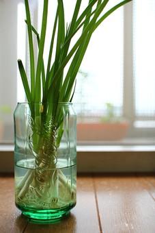 ネギ ねぎ 葱 長ネギ 水耕栽培 花瓶 コップ グラス 葉 葉っぱ 緑 みどり 植物 成長 育つ 観察 趣味 緑 癒し 成長 伸びる 根 水 食材 野菜 食べ物