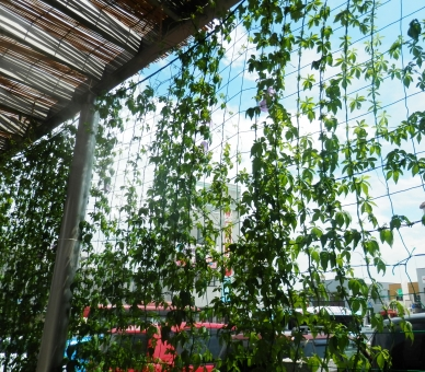 植物 葉 緑 エコ カーテン 夏 這う 伸びる 巻きつく 絡みつく 涼 涼しい 遮る 覆う 陽射し 青空 雲 よしず 屋根