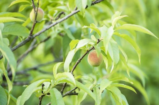 梅の実 梅 梅酒 梅干し 植物 5月 収穫 果物 梅の香り いい匂い 美味しそう ピンク 桃色