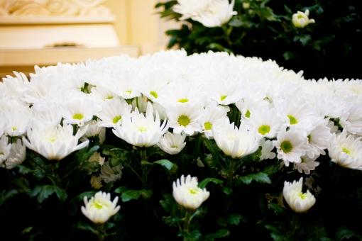 葬儀 葬儀場 葬式 白菊 菊 白 告別式 通夜 葬儀のイメージ 植物 花 コピースペース バックグラウンド 祭壇 死 草木 緑 グリーン 終活 思い 悲しみ 寂しさ たくさんの思い出 思い出