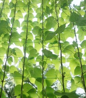 グリーンカーテン アサガオ あさがお 朝顔 西洋アサガオ 葉 葉っぱ グリーン 緑 夏 背景 背景素材 つる 蔓 日よけ 蒸散 透き通り 直射日光 遮断 植物 涼しい クール エコ 窓越し ネット
