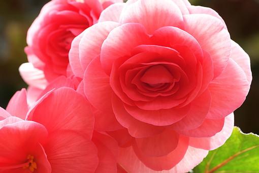 ぼたん 牡丹 ボタン 花 植物 ピンク 自然 水 水に浮く花 水面 流れる かわいい 日本の花 風流 庭園 池 砂利 澄んだ水 和 公園 5月 花言葉 富貴 恥じらい 高貴 壮麗