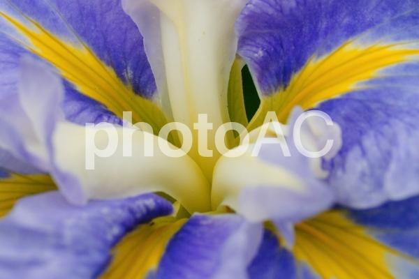 八紘学園の花菖蒲の写真