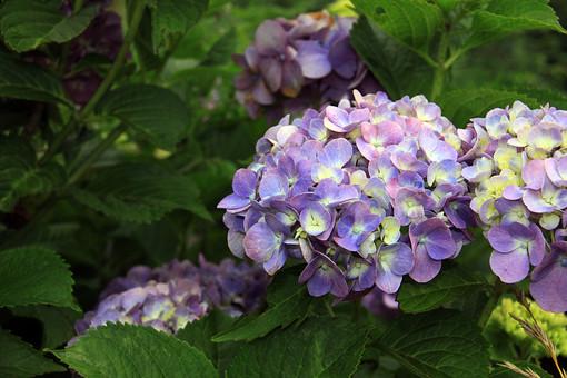紫陽花 あじさい アジサイ 梅雨 雨期 初夏 紫色の花 花 植物 小さい 屋外 外 庭 ガーデニング 花壇 栽培 趣味 花びら 花弁 草 アップ 自然 野生 紫 むらさき 自生 野草 可愛い 可憐 細かい