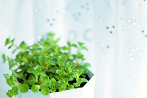 植物 観葉植物 多肉植物 多肉 sedum マンネングサ 緑 グリーン 芽吹き 新芽 癒し 自然 若葉 リラクゼーション ガーデニング 葉 葉っぱ カフェカーテン カーテン 窓辺
