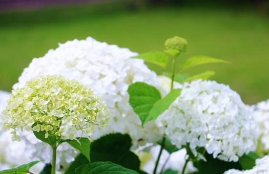 紫陽花 アジサイ 花 六月 梅雨 植物 白い グリーン 葉っぱ 葉 緑 花びら 蕾 満開 初夏 鮮やか 公園 風景 自然 スナップ 背景 壁紙 テクスチャ white ホワイト 半円 ドーム 傘 日傘 レース 優しい ふわふわ フワフワ ふんわり ふうわり もこもこ モコモコ
