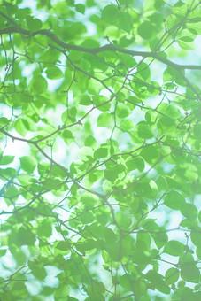 自然 植物 葉 葉っぱ 緑 空 青空 天気 晴天 晴れ 枝 木 樹木 加工 成長 育つ 伸びる アップ 新緑 鮮やか コントラスト 無人 室外 屋外 風景 景色 多い 密集 集まる 沢山 重なる ローアングル 見上げる