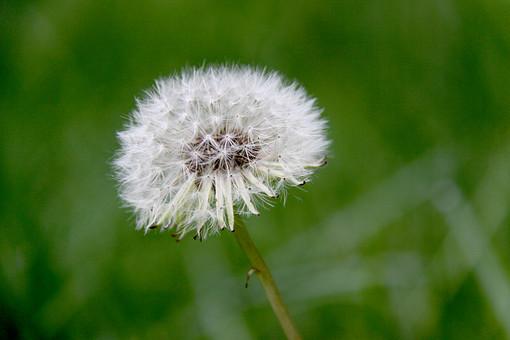 タンポポ たんぽぽ 蒲公英 綿毛 わたげ 種 飛ぶ 植物 小さい 屋外 外 庭 花壇 栽培 趣味 草 アップ 自然 野生 自生 野草 可愛い 可憐 細かい アップ