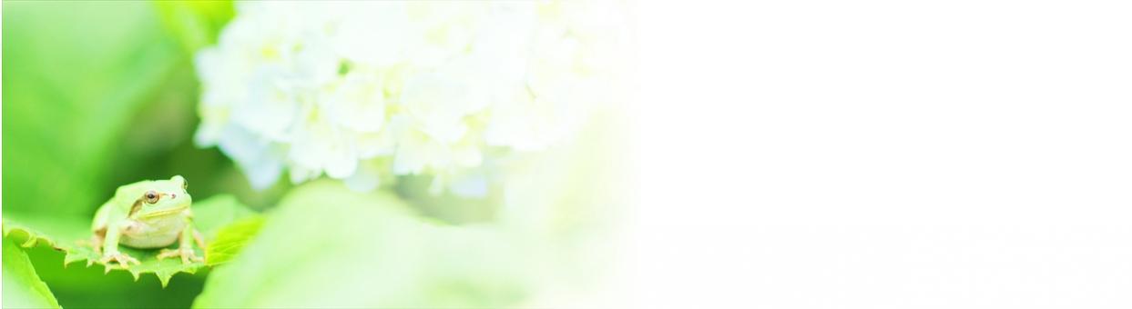 ヘッダ用 ウェブ用 1280x350 蛙 梅雨 紫陽花 アジサイ あじさい かえる 雨蛙 あまがえる 緑 生き物 自然 植物