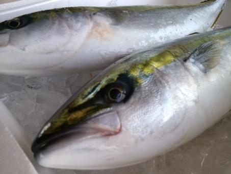 市場 出世魚 ブリ 新鮮 朝とれ 鮮魚店 魚屋 物産 地産 名物 地元 水揚げ 買い物 シーズン 季節 食材 ワラサ イナダ 魚 大漁 釣り 漁業 海 獲る 漁獲