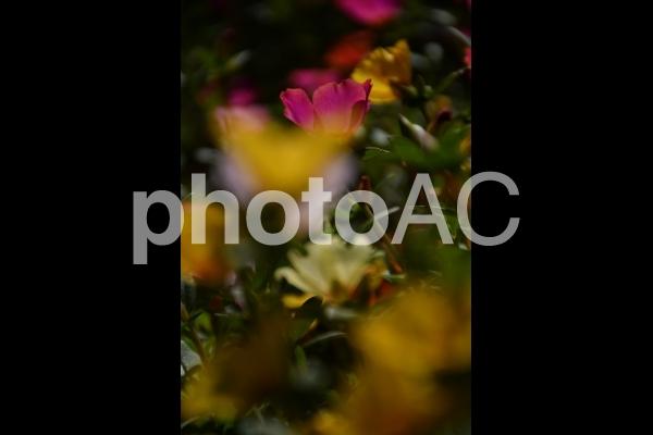 鶴見緑地公園(ピンク・黄・白)花の写真