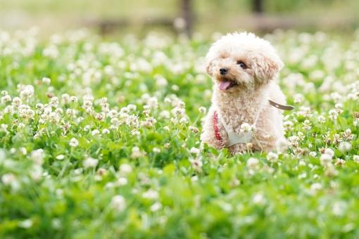 プードル 子犬 の写真