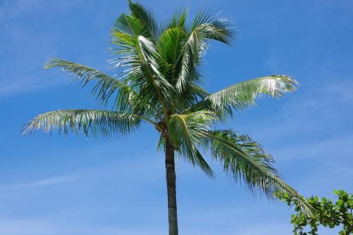 ヤシの木 ヤシ ココナッツ 南の島 南国 ハワイアン ビーチ 海辺 バカンス ヴァカンス バケーション 海外旅行 常夏 島 アイランド 植物 木 樹木 空 青空 夏休み トラベル リゾート フィリピン セブ マクタン島 夏 外国 海外 浜辺