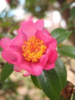 花 はな ハナ サザンカ さざんか ピンク 縦