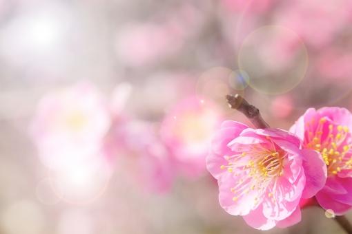 ぼんやり 霞 カスミ 逆光 春 イメージ 梅 紅梅 背景 春,花,フラワー,背景,さくら,サクラ,ピンク,桃色,満開,風景,自然,屋外,木,快晴,枝,花びら,樹木,樹,幹,植物,開花,季節,四季,日本,景色,花見,アップ,接写,4月,テクスチャ,背景素材,背景,素材,きらめき,きらきら,輝き,入学式,入学,卒業式,卒業,お祝い,祝い,桃色,淡い,新3月,4月,背景素材,背景,素材,卒業,入学,お祝い,祝,桃色,イエロー,桜背景,七五三,櫻,ソメイヨシノ,染井吉野,白,花,植物,樹木,バラ科,薄桃色,薄紅色