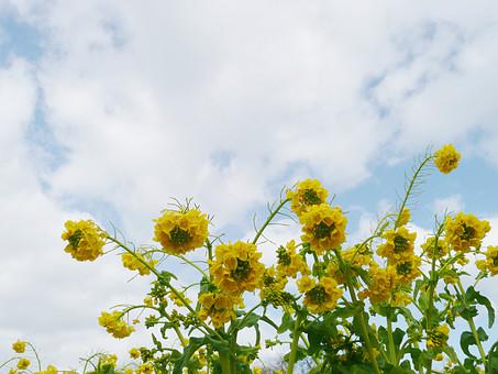 琵琶湖 菜の花 青空 花 植物 花畑 黄色 緑色 春