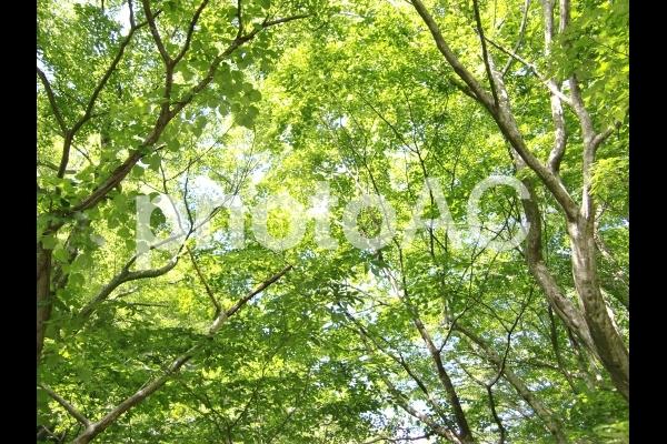 新緑に差し込むまぶしい光の写真
