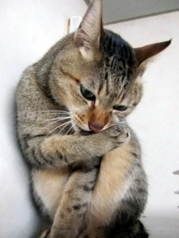 ネコ 猫 ねこ 毛づくろい 顔 表情 内緒 秘密 仕草 視線をそらす かわいい ちゃこ CAT 片手をなめる 動物 家猫 飼い猫 室内猫 どうぶつ ペット 生き物