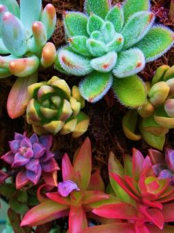 多肉植物 植物 エケベリア属 クラッスラ属 ハムシー 火祭り カラフル 赤 緑 黄緑 園芸 紫 観賞用 ガーデニング