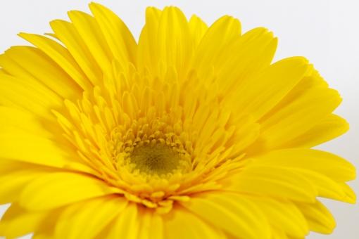ガーベラ 黄色 黄色のガーベラ 黄色いガーベラ 花 植物 花びら 自然 春 白バック フラワーアレンジメント かわいい 明るい アップ クローズアップ マクロ 美しい 接写 きれい 綺麗