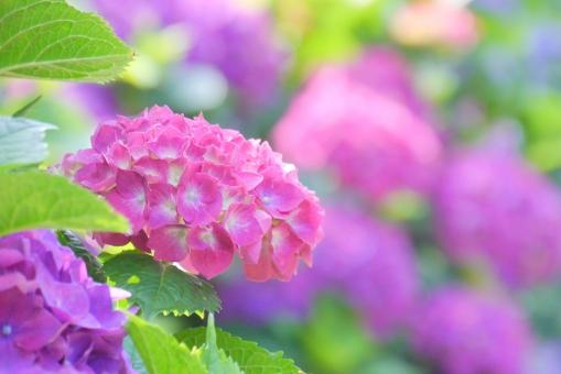 6月 六月 6月 背景画像 背景写真 みどり グリーン 青 赤紫 テキストスペース 雨 コピースペース 素材 アップ クローズアップ テクスチャ テクスチャー 雨期 初夏 満開 園芸 ガーデニング 栽培 庭園 花壇 庭 植物園 美しい 綺麗 緑 雨上がり 景色 あじさい 紫陽花 アジサイ 紫陽花畑 紫 沢山 一面 あじさい園 葉 葉っぱ 木 植物 風景 自然 公園 晴れ 梅雨 見頃 日差し 光 鮮やか 季節 壁紙 花畑 ピンク 花 背景 背景素材 明るい