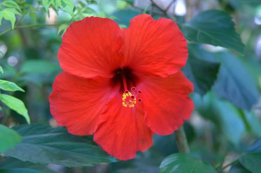 ハイビスカス 赤い花 赤 南国 花 はな 植物 草花 自然 接写 クローズアップ アップ 花 花びら 茎 葉 ぼかし 園芸 ガーデニング 庭 栽培 自生 野生 開花 満開 鮮やか 華やか
