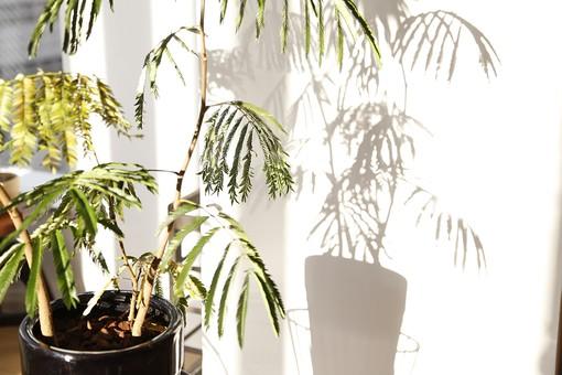 植物 観葉植物 鉢 鉢植え 葉 葉っぱ リーフ 緑 グリーン 鑑賞 インテリア 飾り 装飾 おしゃれ 癒し 趣味 栽培 育てる インドアガーデニング 園芸 影 シャドウ シルエット 陽当たり 日差し 光合成 背景 壁 室内 リビング ナチュラル