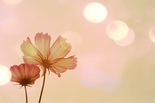 秋 秋桜   ロマンチックの写真