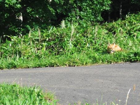 北海道 野生 野生動物 きつね キツネ 狐 北狐 北キツネ 草 遭遇 出逢い