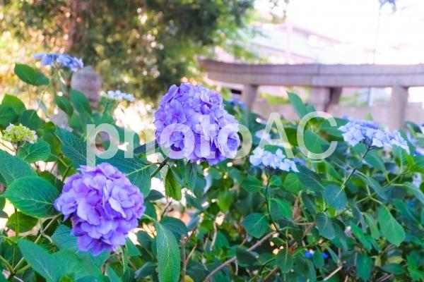 神社に咲くあじさいの写真