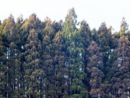杉 杉林 山林 山 樹木 植物 緑 自然 花粉症 杉花粉 杉花粉症 スギ花粉症 花粉アレルギー 自然 風景 背景 空 春 飛散 くしゃみ 鼻水 冬 花粉 アレルゲン アレルギー 目がかゆい かゆみ 鼻づまり 体質
