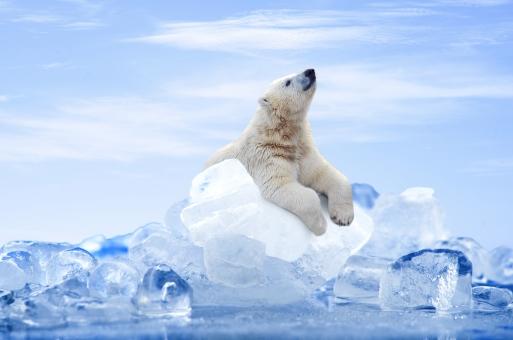 氷に乗るしろくまの写真