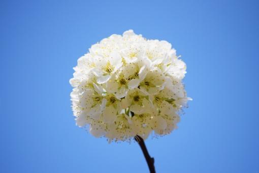 快晴 晴れ 季節 四季 春 3月 三月 四月 4月 植物 花 はな すもも スモモ 青 青色 白 白色 水色 まる 丸 円い 丸い まるい 球体 群生 かわいい カワイイ 可愛い 綺麗