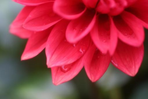ダリア 赤 赤い花 dahlia キク科 八重咲き 万重咲き 夏休み キラキラ 大輪 つぼみ 蕾 元気 パワー 明るい 華麗 優雅 暑い 暑中見舞い 暑中お見舞い 花畑 華やか 開花 葉 太陽 庭 園芸 鮮やか 蜜 自然 風景 景色 野原 緑 公園 日光 季節 葉っぱ 草花 花 植物 グリーン 初夏 夏 秋 ナチュラル 可愛い テクスチャ 背景 背景素材 テキストスペース コピースペース コピー アップ クローズアップ 接写 雨 雫 小雨