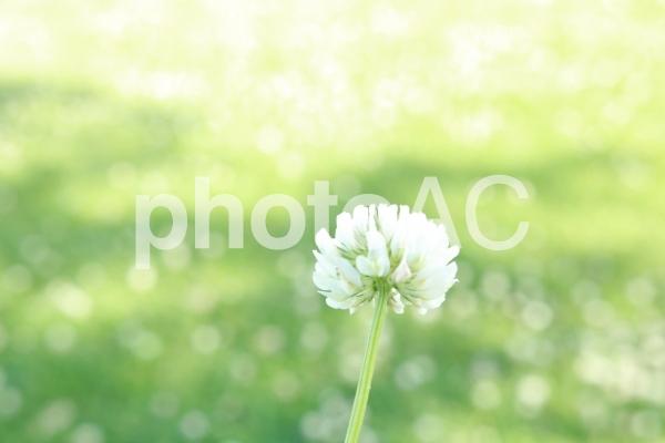 しろつめ草 シロツメクサ しろつめくさ キラキラの写真