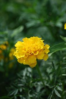 カーネーション 父の日 花 お花 フラワー 背景 植物 きれい 咲く 晴れ 満開 風景 自然 明るい  屋外 花びら 園芸 ガーデニング アップ 接写 開花 趣味 生花 葉 葉っぱ 花壇 黄色い花 黄色