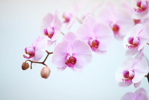 らん 蘭 自然 植物 花 マクロ クローズアップ 満開 きれい 美しい 鮮やか 華やか 明るい アジア 東南アジア 日本 北海道 観光 蕾 写真 ラン 洋ラン 室内 屋内 ラン科 かわいい コピースペース 生花 ランフェスタ フラワー 背景 胡蝶蘭 園芸 ランの花 蘭の花 世界のラン 世界のラン展 素晴らしい 絶景 世界一