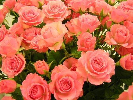 花 植物 バラ ばら 薔薇 ピンク