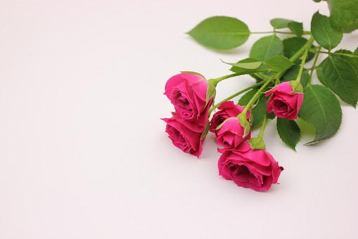 花 薔薇 赤い ばら バラ プレゼント 美しい 誕生日 コピースペース 淡い 年中行事 切り花 植物 記念日 イベント