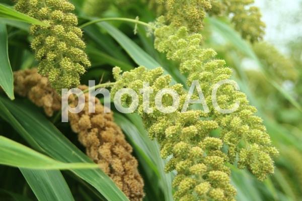 粟の穂の写真