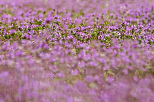 ホトケノザ ほとけのざ 仏の座 畑 春の情景 赤紫