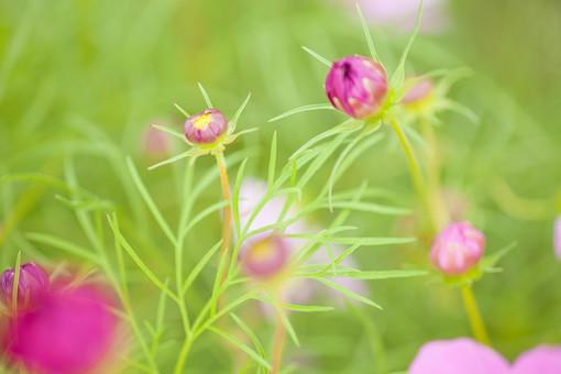 秋の風景 コスモス アキザクラ 秋桜 花畑 花園 がく つぼみ 葉 桃色 ピンク 黄色 緑 アップ 接写 植物 花 草花 散歩 散策 自然 風景 景色 真心 のどか 鮮やか 華やか 美しい 綺麗 明るい ボケ味 ピントぼけ