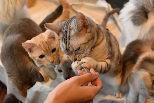 猫 ねこ ネコ ご飯 スプーン 餌 えさ エサ 両手 はさむ 挟む 掴む つかむ 食べる 食べている たくさん 多頭 いっぱい 群がる 集まる 集合 団体 見る 見ている 女性 手 あげる 立つ 立ち上がる 順番 順番待ち 待つ 餌やり ネコカフェ 猫カフェ アメリカンショートヘア 生き物 キャッチ 壁紙