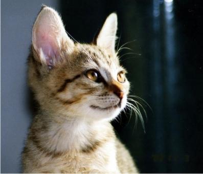 猫 ネコ ねこ 愛猫 横顔 目指す 日差し 見つめる 輝く 瞳 決意 希望 目を開けた 視線 志 大きな耳 ひげ アップ 顔 子猫 1匹 室内猫 飼い猫 家猫 眼差し まなざし かわいい たくましい 自信に満ちた ちゃこ