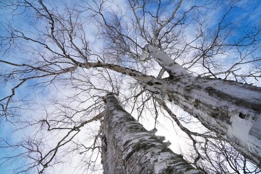 植物 屋外 空 青空 晴れ 風景 景色 木 春 樹木 自然 枝 冬 雲 森林 日本 大木 季節 巨大 北海道 白樺 四季 広角
